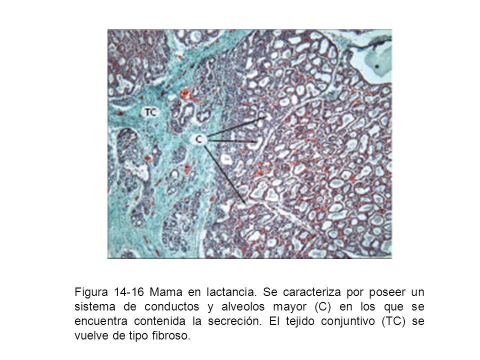 Figura 14-16 Mama en lactancia. Se caracteriza por poseer un sistema de conductos y alveolos mayor (C) en los que se encuentra contenida la secreción.