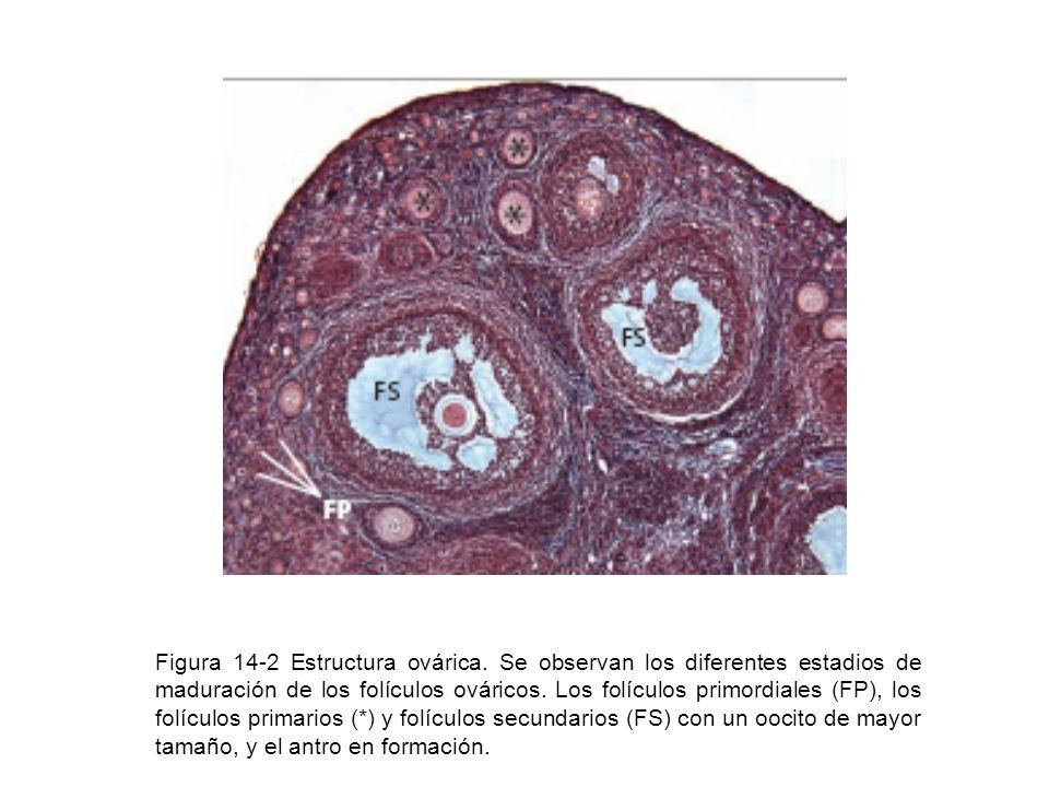 Figura 14-2 Estructura ovárica. Se observan los diferentes estadios de maduración de los folículos ováricos. Los folículos primordiales (FP), los folí