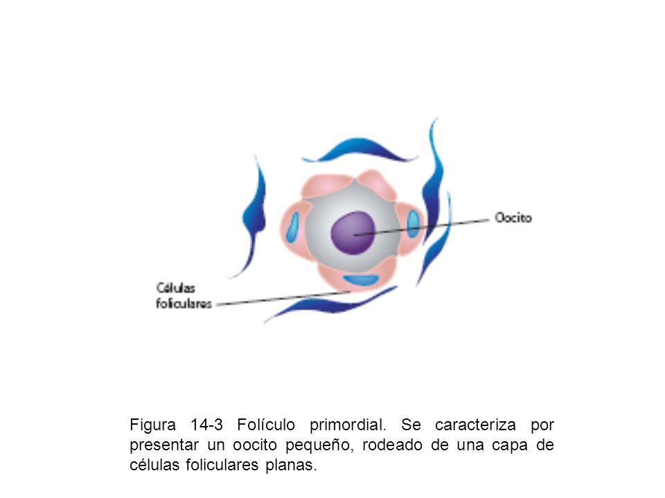 Figura 14-3 Folículo primordial. Se caracteriza por presentar un oocito pequeño, rodeado de una capa de células foliculares planas.
