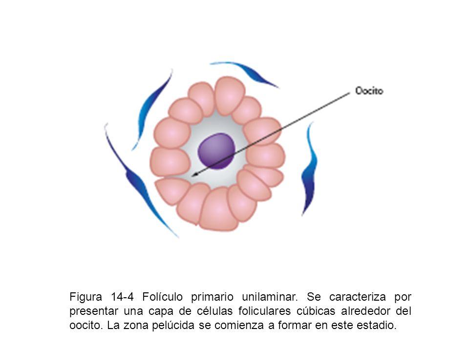 Figura 14-4 Folículo primario unilaminar. Se caracteriza por presentar una capa de células foliculares cúbicas alrededor del oocito. La zona pelúcida