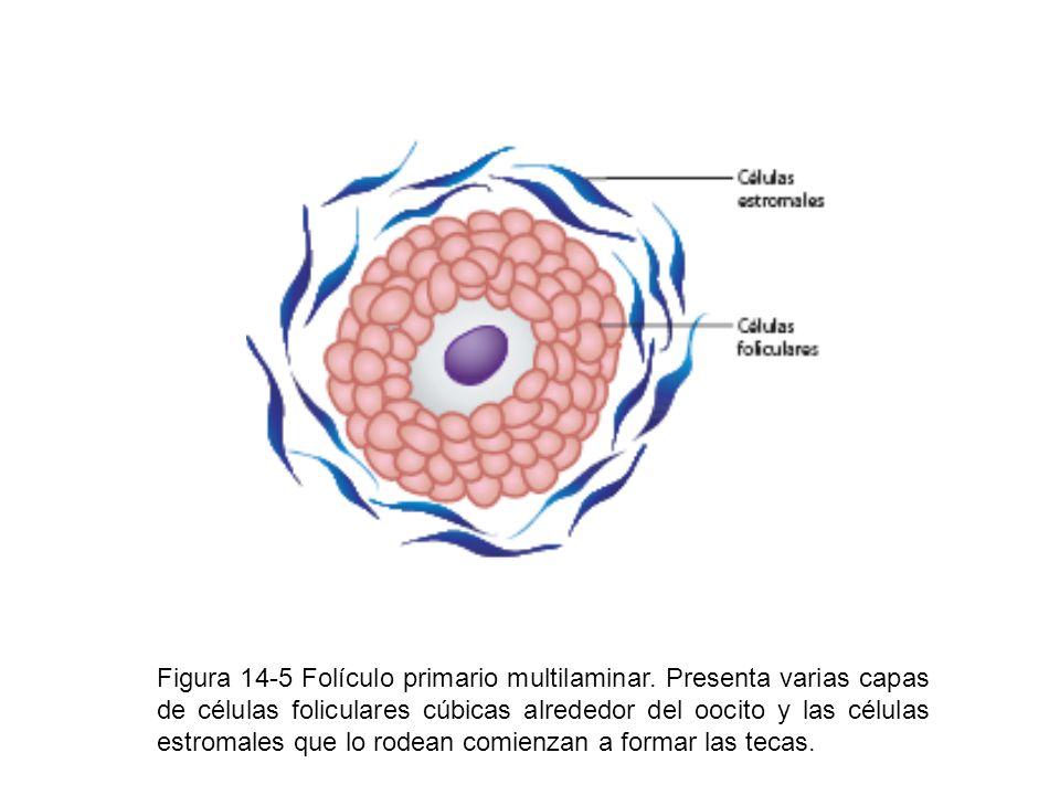 Figura 14-5 Folículo primario multilaminar. Presenta varias capas de células foliculares cúbicas alrededor del oocito y las células estromales que lo