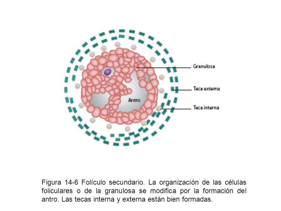 Figura 14-6 Folículo secundario. La organización de las células foliculares o de la granulosa se modifica por la formación del antro. Las tecas intern