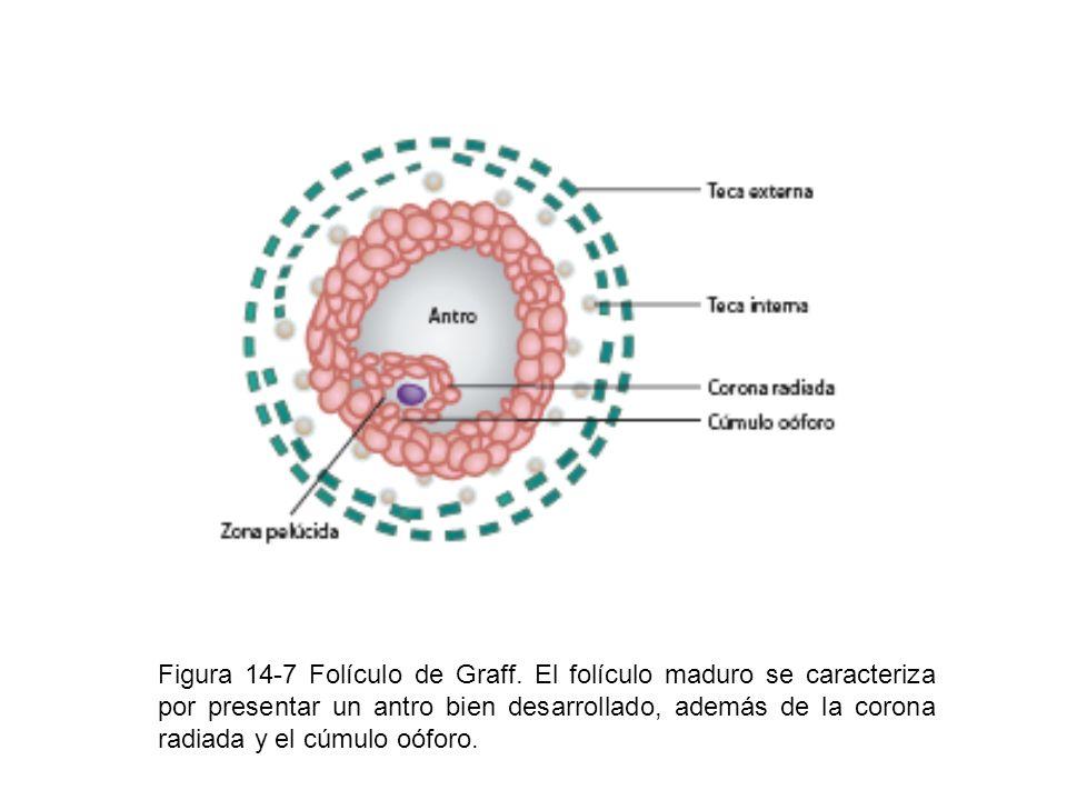 Figura 14-7 Folículo de Graff. El folículo maduro se caracteriza por presentar un antro bien desarrollado, además de la corona radiada y el cúmulo oóf