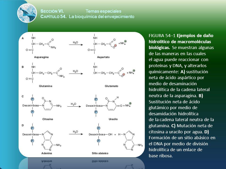 S ECCIÓN VI.Temas especiales C APÍTULO 54. La bioquímica del envejecimiento FIGURA 54–1 Ejemplos de daño hidrolítico de macromoléculas biológicas. Se