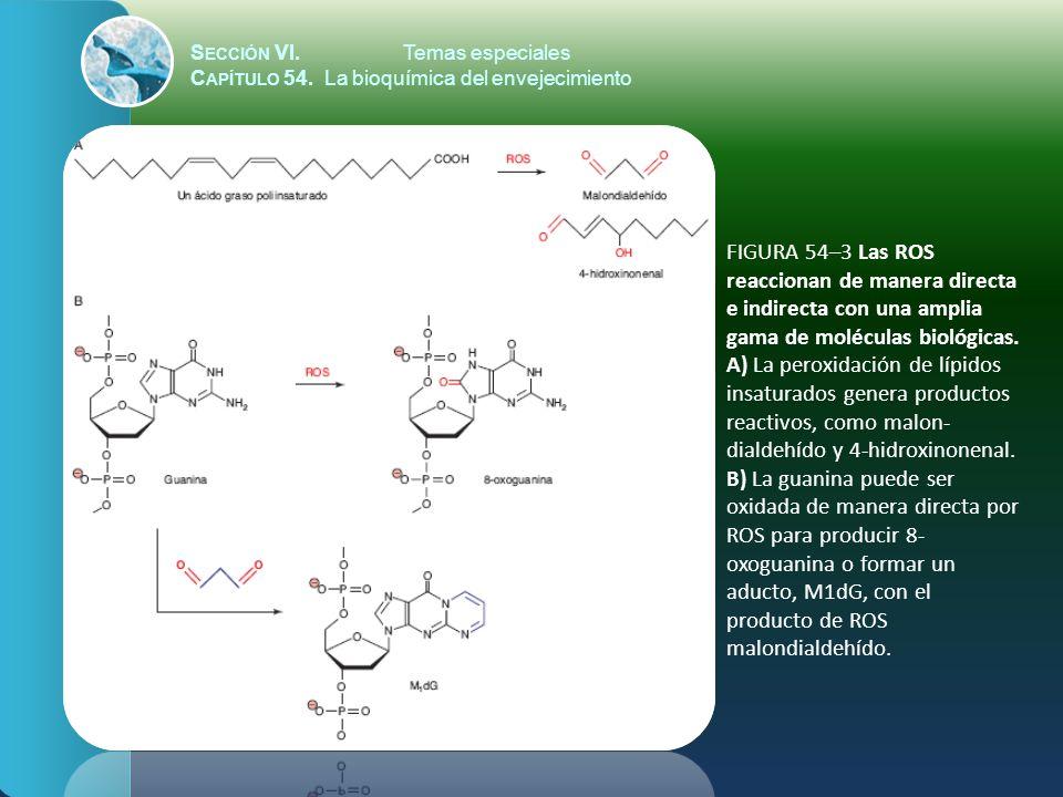 S ECCIÓN VI.Temas especiales C APÍTULO 54. La bioquímica del envejecimiento FIGURA 54–3 Las ROS reaccionan de manera directa e indirecta con una ampli