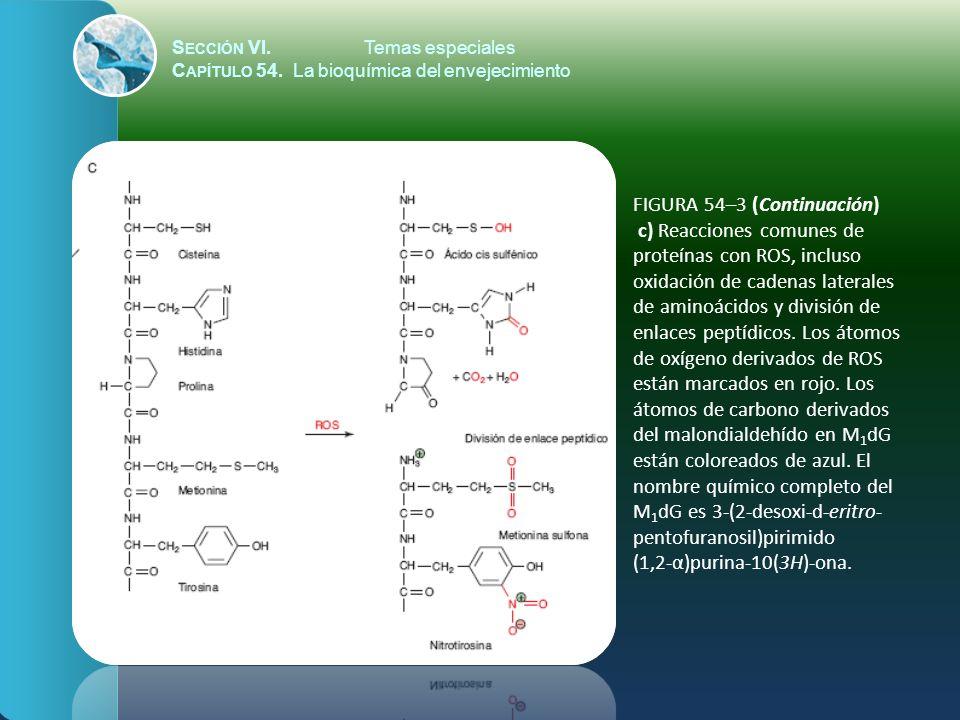 S ECCIÓN VI.Temas especiales C APÍTULO 54. La bioquímica del envejecimiento FIGURA 54–3 (Continuación) c) Reacciones comunes de proteínas con ROS, inc