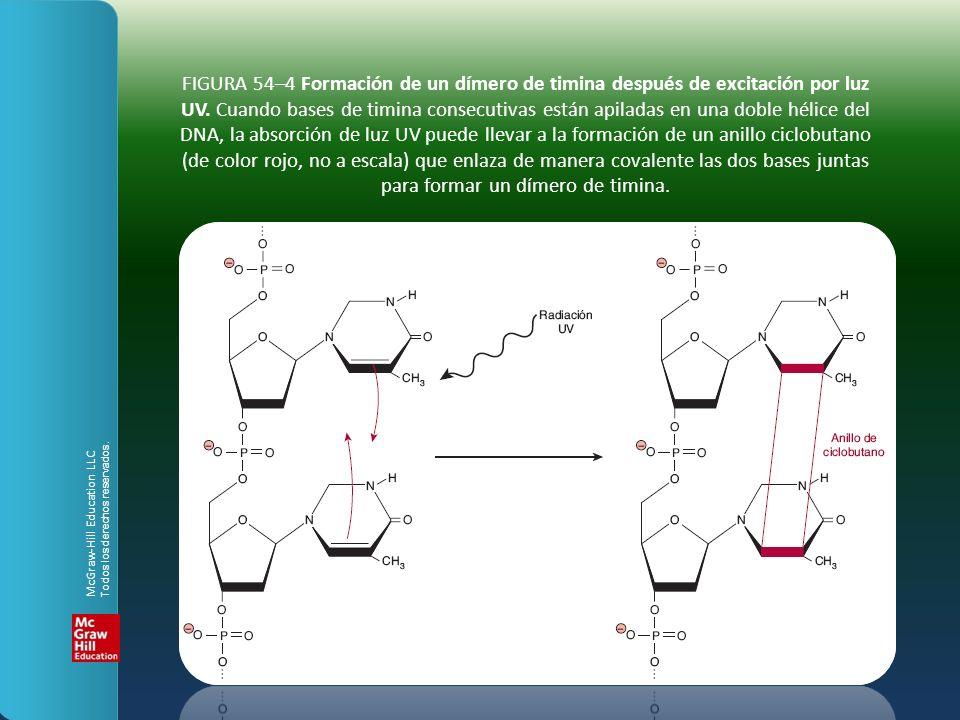 FIGURA 54–4 Formación de un dímero de timina después de excitación por luz UV. Cuando bases de timina consecutivas están apiladas en una doble hélice