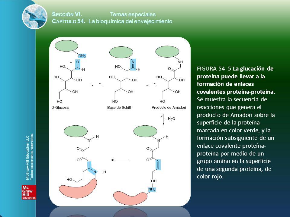S ECCIÓN VI.Temas especiales C APÍTULO 54. La bioquímica del envejecimiento FIGURA 54–5 La glucación de proteína puede llevar a la formación de enlace