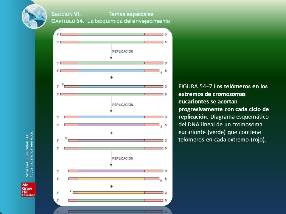 S ECCIÓN VI.Temas especiales C APÍTULO 54. La bioquímica del envejecimiento FIGURA 54–7 Los telómeros en los extremos de cromosomas eucariontes se aco