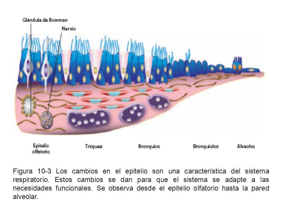 Figura 10-3 Los cambios en el epitelio son una característica del sistema respiratorio. Estos cambios se dan para que el sistema se adapte a las neces