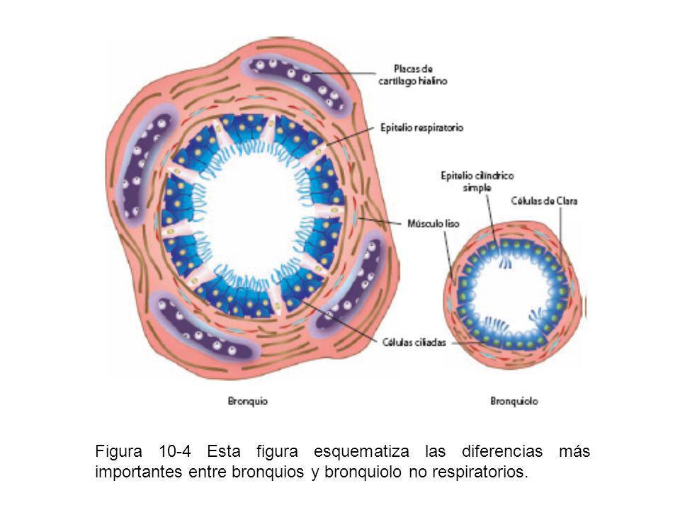Figura 10-4 Esta figura esquematiza las diferencias más importantes entre bronquios y bronquiolo no respiratorios.