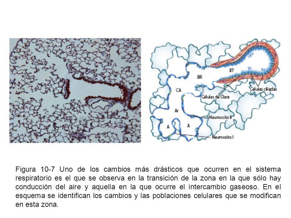 Figura 10-7 Uno de los cambios más drásticos que ocurren en el sistema respiratorio es el que se observa en la transición de la zona en la que sólo ha