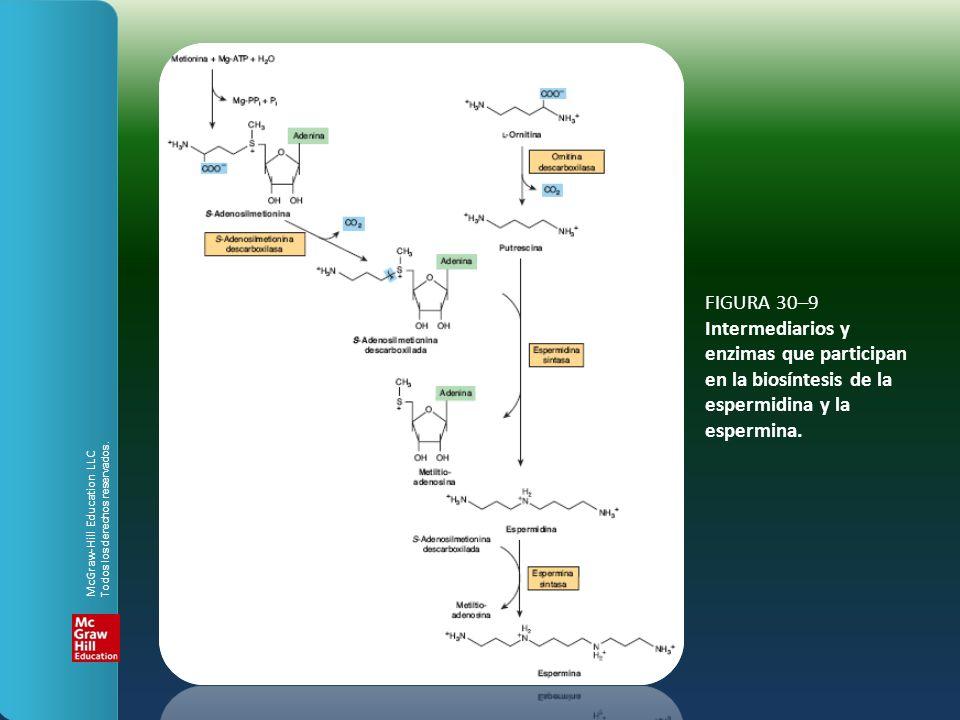 FIGURA 30–9 Intermediarios y enzimas que participan en la biosíntesis de la espermidina y la espermina. McGraw-Hill Education LLC Todos los derechos r