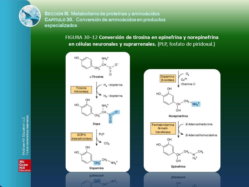 FIGURA 30–12 Conversión de tirosina en epinefrina y norepinefrina en células neuronales y suprarrenales. (PLP, fosfato de piridoxal.) S ECCIÓN III. Me