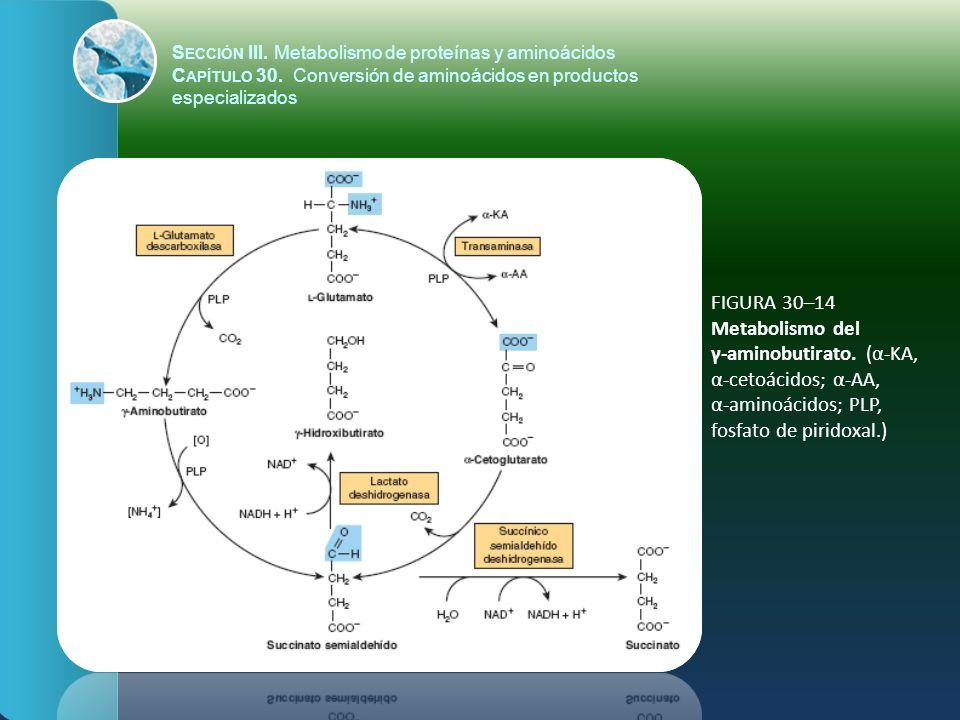 FIGURA 30–14 Metabolismo del γ-aminobutirato. (α-KA, α-cetoácidos; α-AA, α-aminoácidos; PLP, fosfato de piridoxal.) S ECCIÓN III. Metabolismo de prote