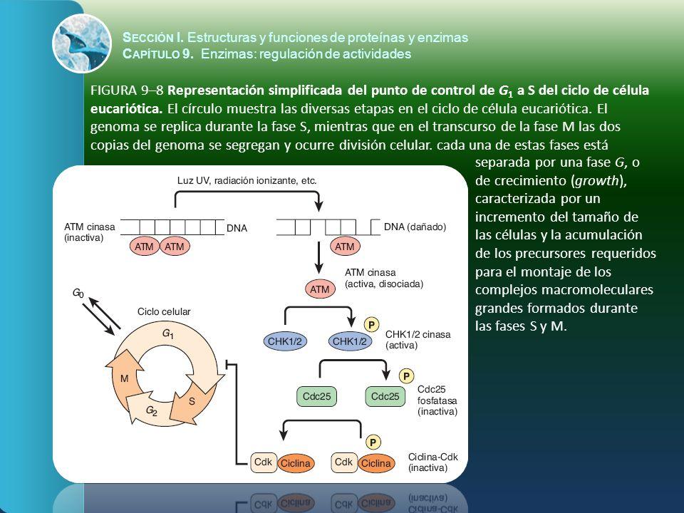 FIGURA 9–8 Representación simplificada del punto de control de G 1 a S del ciclo de célula eucariótica. El círculo muestra las diversas etapas en el c