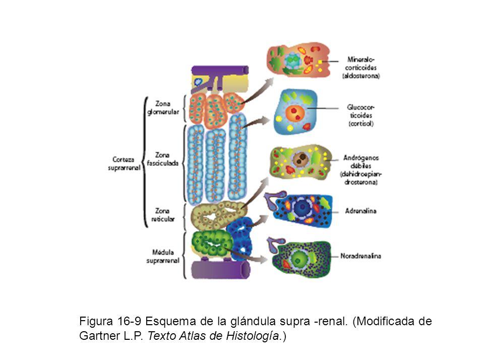 Figura 16-9 Esquema de la glándula supra -renal. (Modificada de Gartner L.P. Texto Atlas de Histología.)