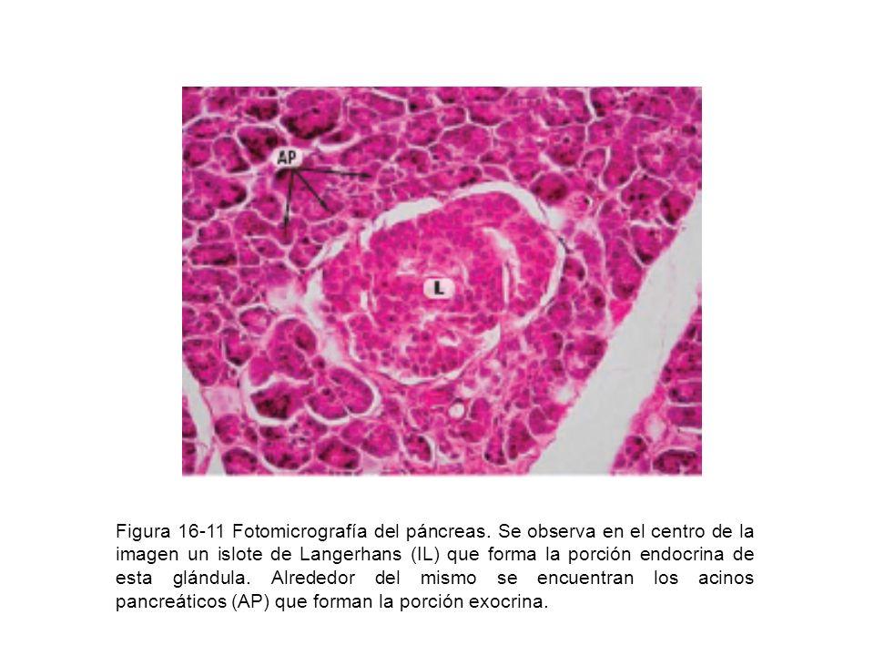 Figura 16-11 Fotomicrografía del páncreas. Se observa en el centro de la imagen un islote de Langerhans (IL) que forma la porción endocrina de esta gl