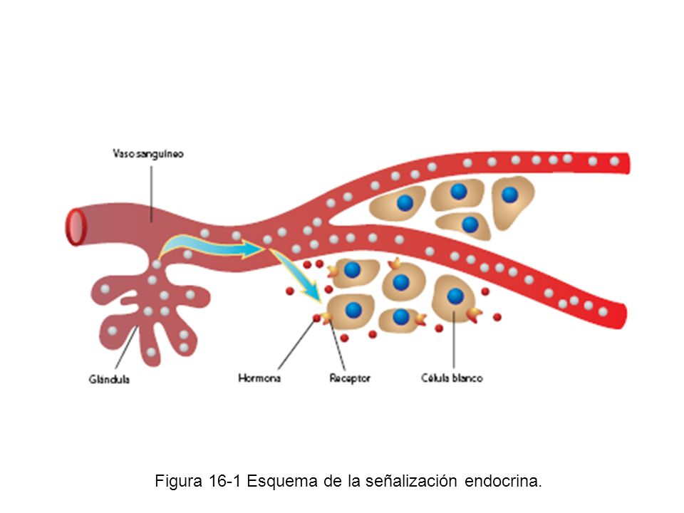 Figura 16-1 Esquema de la señalización endocrina.