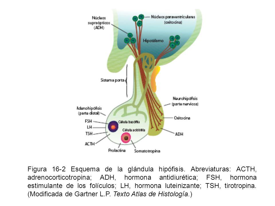 Figura 16-2 Esquema de la glándula hipófisis. Abreviaturas: ACTH, adrenocorticotropina; ADH, hormona antidiurética; FSH, hormona estimulante de los fo