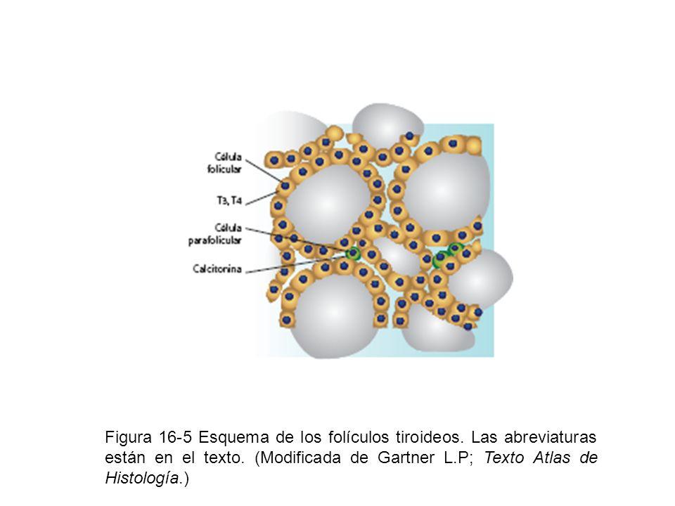 Figura 16-5 Esquema de los folículos tiroideos. Las abreviaturas están en el texto. (Modificada de Gartner L.P; Texto Atlas de Histología.)