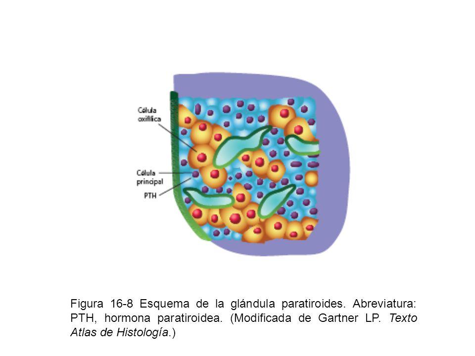 Figura 16-8 Esquema de la glándula paratiroides. Abreviatura: PTH, hormona paratiroidea. (Modificada de Gartner LP. Texto Atlas de Histología.)