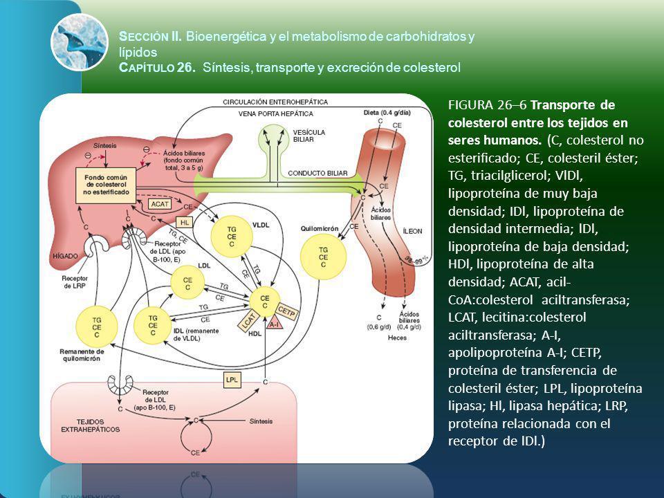 FIGURA 26–6 Transporte de colesterol entre los tejidos en seres humanos. (C, colesterol no esterificado; CE, colesteril éster; TG, triacilglicerol; Vl