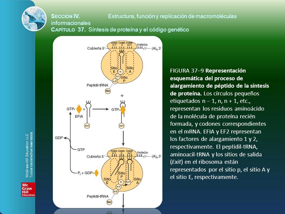 FIGURA 37–9 Representación esquemática del proceso de alargamiento de péptido de la síntesis de proteína. Los círculos pequeños etiquetados n 1, n, n