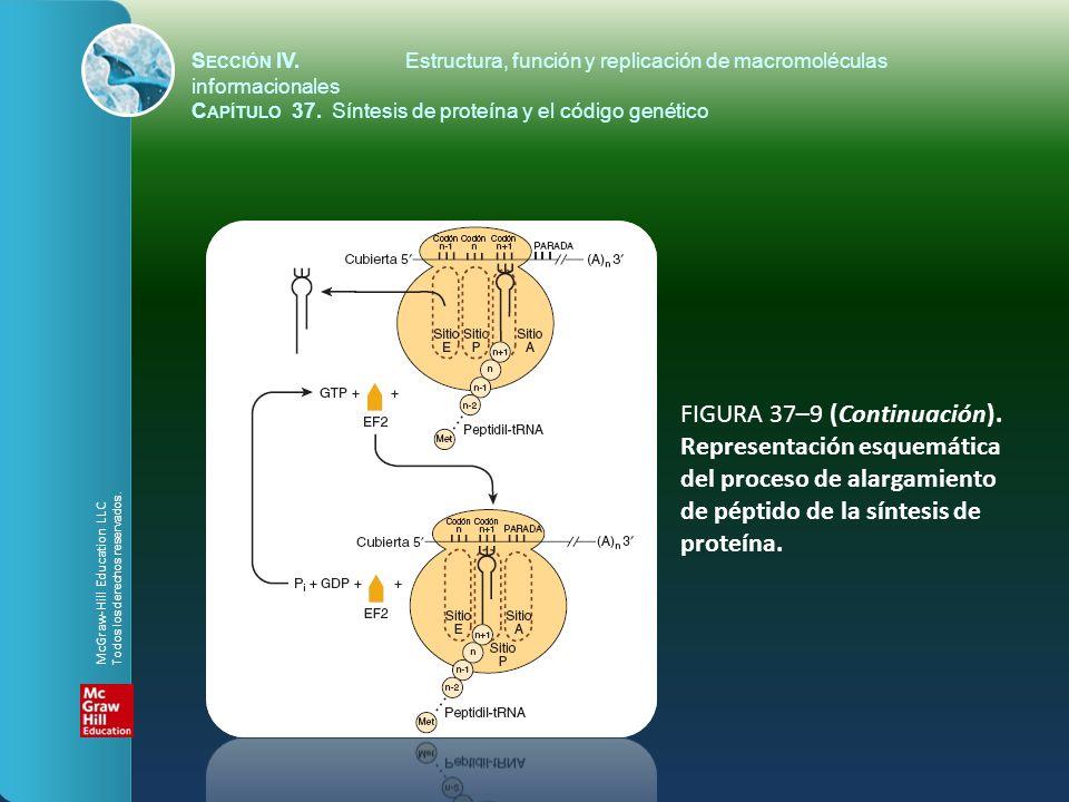 FIGURA 37–9 (Continuación). Representación esquemática del proceso de alargamiento de péptido de la síntesis de proteína. S ECCIÓN IV.Estructura, func