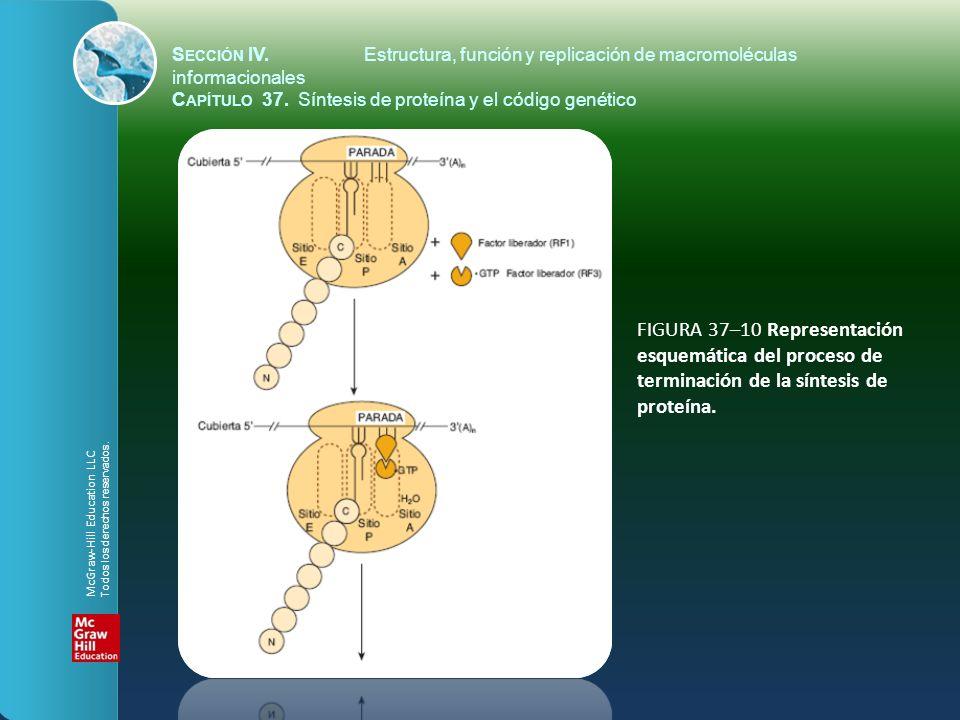 FIGURA 37–10 Representación esquemática del proceso de terminación de la síntesis de proteína. S ECCIÓN IV.Estructura, función y replicación de macrom