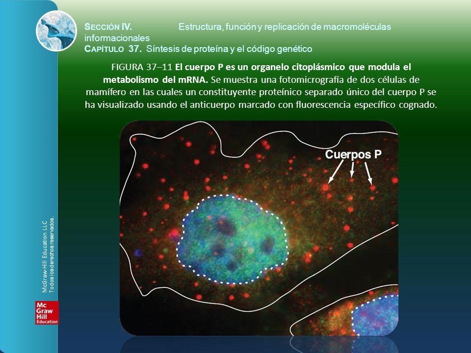 FIGURA 37–11 El cuerpo P es un organelo citoplásmico que modula el metabolismo del mRNA. Se muestra una fotomicrografía de dos células de mamífero en