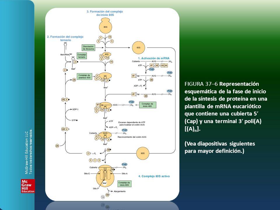 FIGURA 37–6 Representación esquemática de la fase de inicio de la síntesis de proteína en una plantilla de mRNA eucariótico que contiene una cubierta