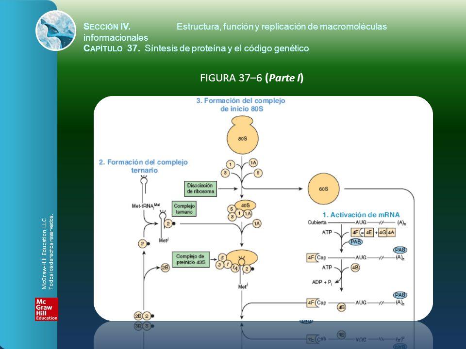 FIGURA 37–6 (Parte I) S ECCIÓN IV.Estructura, función y replicación de macromoléculas informacionales C APÍTULO 37. Síntesis de proteína y el código g