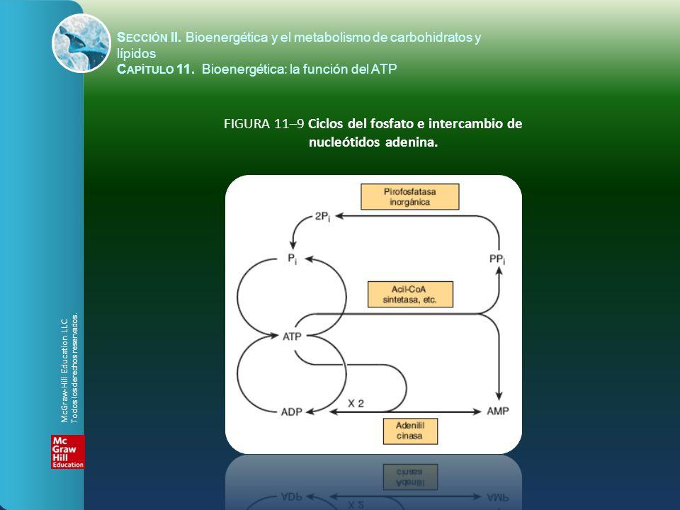 FIGURA 11–9 Ciclos del fosfato e intercambio de nucleótidos adenina. S ECCIÓN II. Bioenergética y el metabolismo de carbohidratos y lípidos C APÍTULO