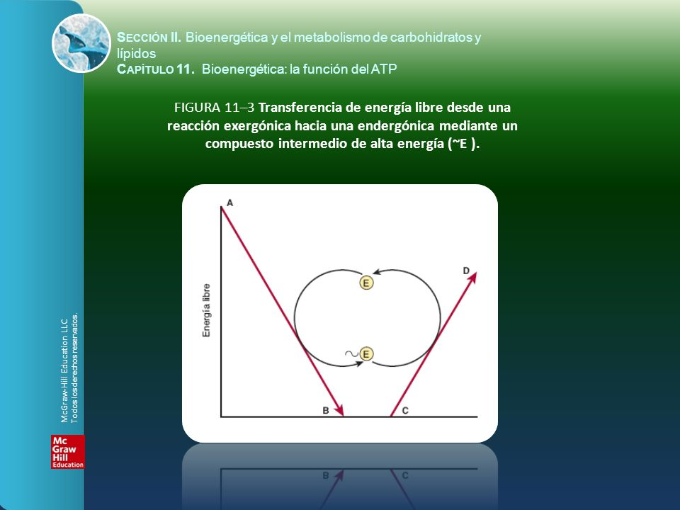 FIGURA 11–3 Transferencia de energía libre desde una reacción exergónica hacia una endergónica mediante un compuesto intermedio de alta energía (~E ).