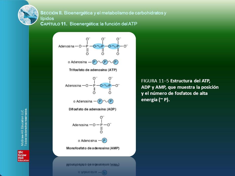 FIGURA 11–5 Estructura del ATP, ADP y AMP, que muestra la posición y el número de fosfatos de alta energía (~ P). S ECCIÓN II. Bioenergética y el meta