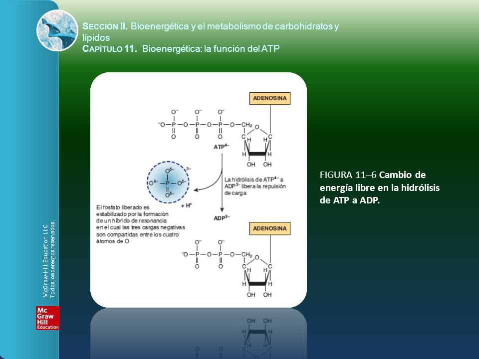 FIGURA 11–6 Cambio de energía libre en la hidrólisis de ATP a ADP. McGraw-Hill Education LLC Todos los derechos reservados. S ECCIÓN II. Bioenergética