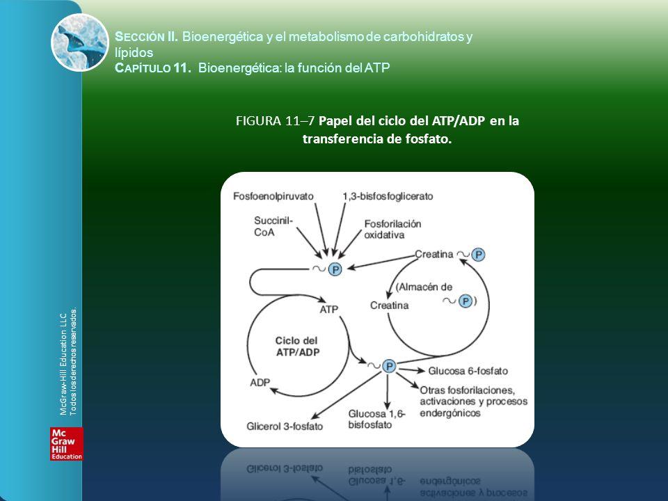 FIGURA 11–8 Transferencia de fosfato de alta energía entre Atp y creatina.