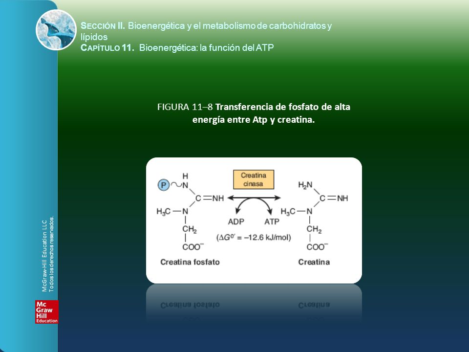 FIGURA 11–8 Transferencia de fosfato de alta energía entre Atp y creatina. S ECCIÓN II. Bioenergética y el metabolismo de carbohidratos y lípidos C AP