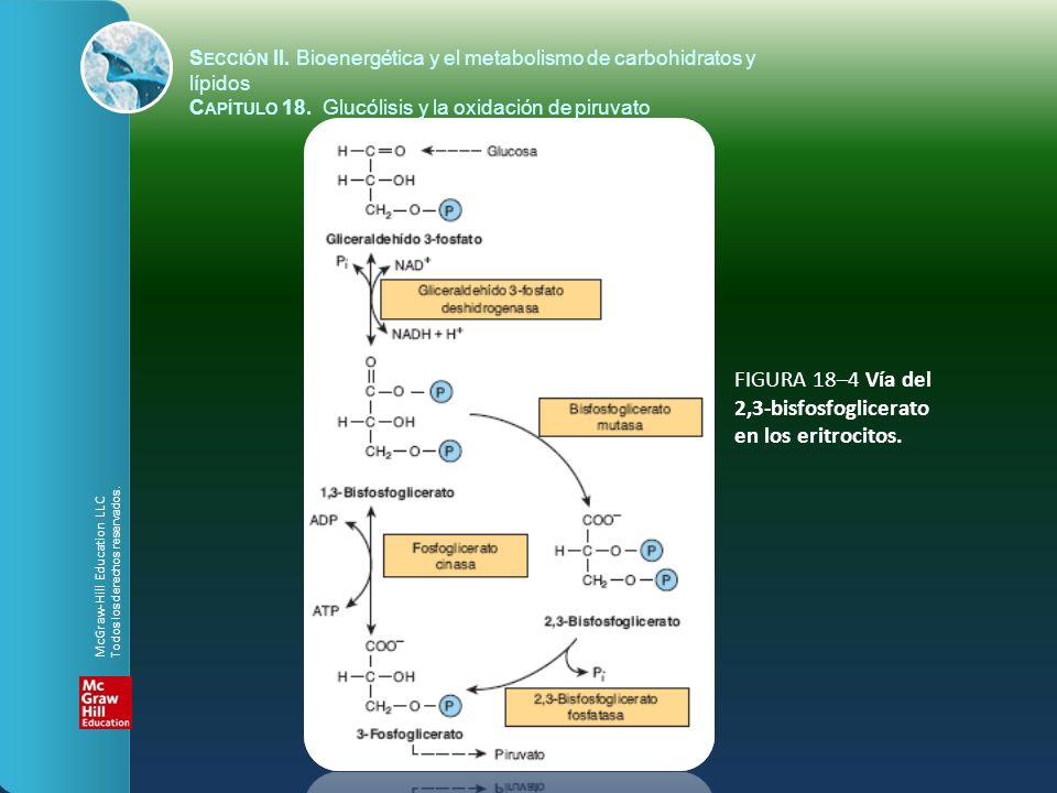 FIGURA 18–4 Vía del 2,3-bisfosfoglicerato en los eritrocitos. S ECCIÓN II. Bioenergética y el metabolismo de carbohidratos y lípidos C APÍTULO 18. Glu