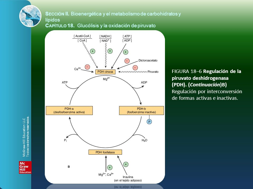 FIGURA 18–6 Regulación de la piruvato deshidrogenasa (PDH). (Continuación)B) Regulación por interconversión de formas activas e inactivas. S ECCIÓN II