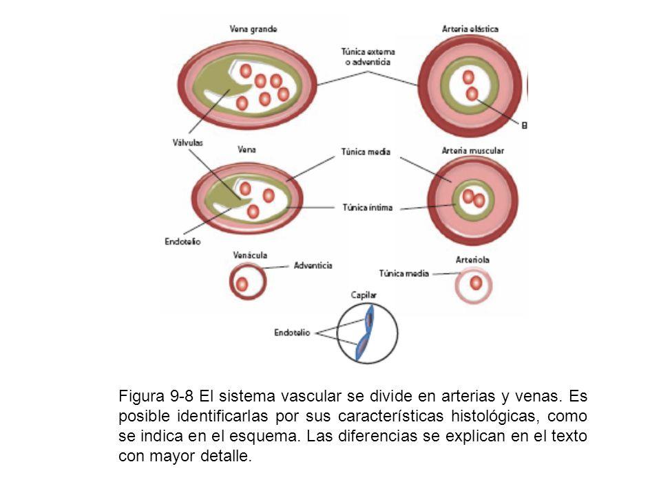 Figura 9-8 El sistema vascular se divide en arterias y venas. Es posible identificarlas por sus características histológicas, como se indica en el esq