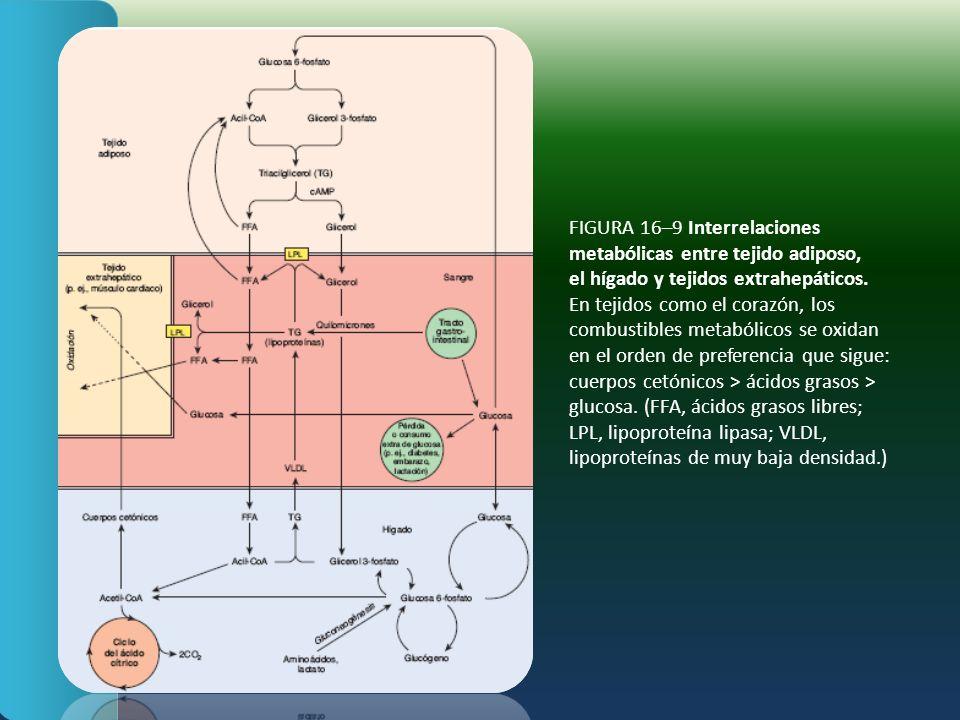 FIGURA 16–9 Interrelaciones metabólicas entre tejido adiposo, el hígado y tejidos extrahepáticos. En tejidos como el corazón, los combustibles metaból