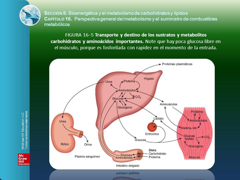 FIGURA 16–5 Transporte y destino de los sustratos y metabolitos carbohidratos y aminoácidos importantes. Note que hay poca glucosa libre en el músculo