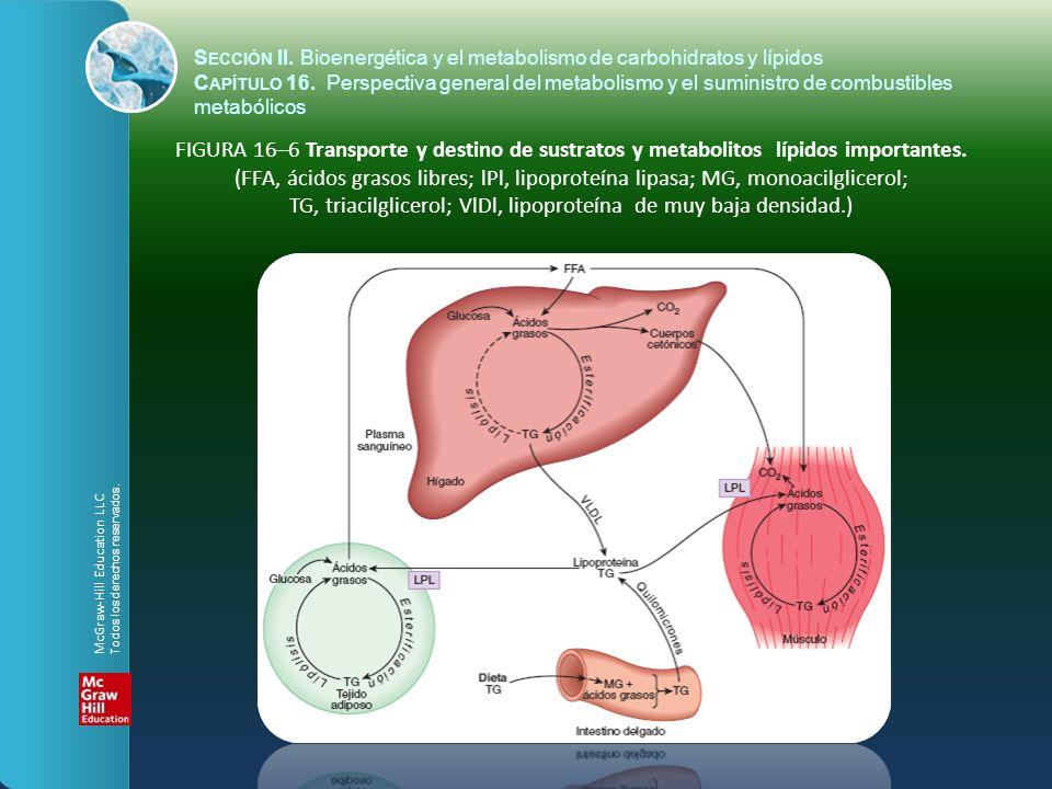 FIGURA 16–7 Ubicación intracelular y perspectiva general de vías metabólicas importantes en una célula parenquimatosa del hígado.