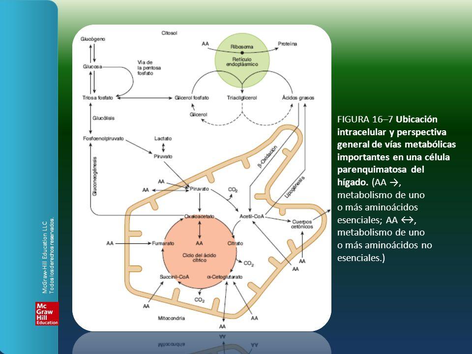 FIGURA 16–7 Ubicación intracelular y perspectiva general de vías metabólicas importantes en una célula parenquimatosa del hígado. (AA, metabolismo de