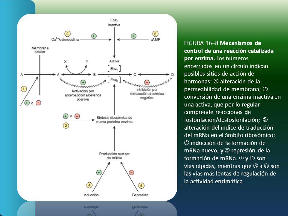 FIGURA 16–8 Mecanismos de control de una reacción catalizada por enzima. los números encerrados en un círculo indican posibles sitios de acción de hor