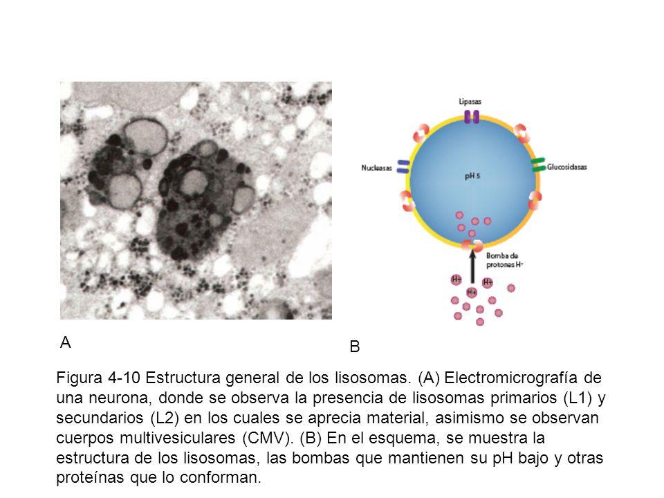 A B Figura 4-10 Estructura general de los lisosomas. (A) Electromicrografía de una neurona, donde se observa la presencia de lisosomas primarios (L1)