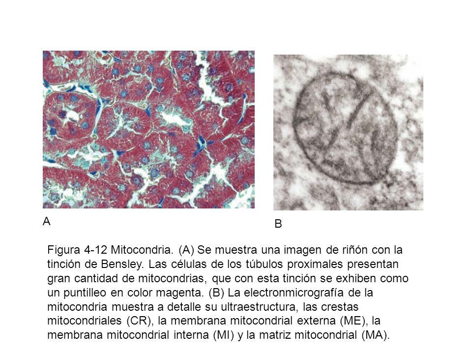 A B Figura 4-12 Mitocondria. (A) Se muestra una imagen de riñón con la tinción de Bensley. Las células de los túbulos proximales presentan gran cantid