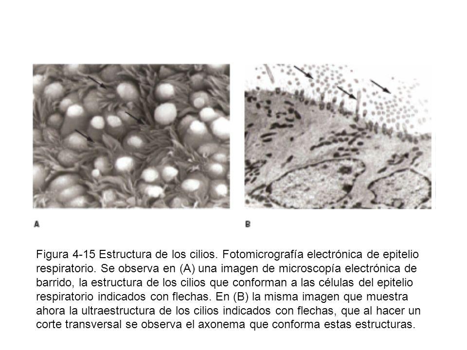 Figura 4-15 Estructura de los cilios. Fotomicrografía electrónica de epitelio respiratorio. Se observa en (A) una imagen de microscopía electrónica de